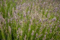 Świeży zielony kwitnienia pole lawendowe ziołowe rośliny Obraz Stock