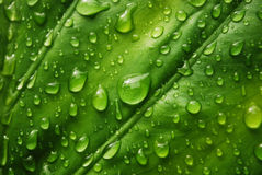 świeży zielony liść Fotografia Royalty Free