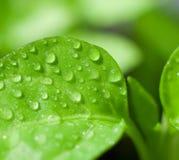 świeży zielony liść Zdjęcia Royalty Free