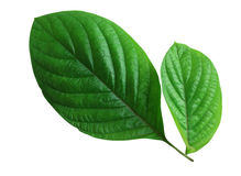 Świeży zielony liść Obraz Stock