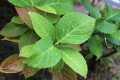 Świeży zielony liść Obraz Royalty Free