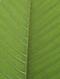 Świeży zielony liść od Plumeria drzewa Obrazy Royalty Free