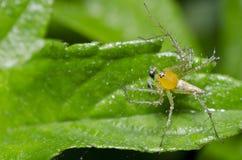 świeży zielony liść pająka kolor żółty Zdjęcia Royalty Free