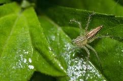 świeży zielony liść pająka kolor żółty Obraz Royalty Free