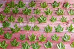 Świeży zielony liścia klonowego tła wzór Zdjęcia Stock