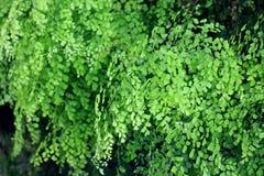Świeży zielony paprociowy tło (Adiantum raddianum) Fotografia Royalty Free