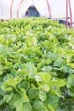 świeży zielony sałatkowy warzywo Zdjęcia Royalty Free