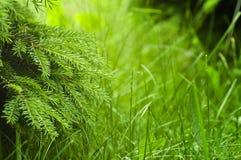 Świeży zielony tło - wiosny natura Fotografia Royalty Free