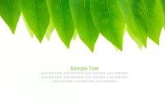 Świeży zielony urlop w białym tle Obraz Stock