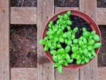 Świeży zielony włoski basil w garnku Zdjęcie Royalty Free