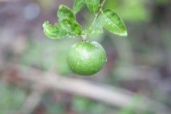 Świeży zielony wapno lub cytryna z deszczem opuszczamy na natury tle obraz stock