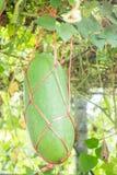 Świeży zielony zima melon na drzewie Zdjęcie Stock