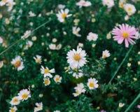 Świeżych kwiatów jesieni odwiecznie astery, lato kwiatu stubarwny wzór z płytką głębią ostrość Zdjęcie Stock