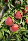 świeżych owoców drzewa brzoskwiniowe Zdjęcia Royalty Free