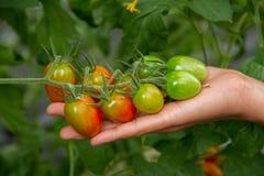 świeżych pomidorów Zdjęcia Stock