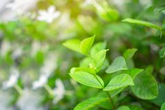Świeżych potomstw miękkiej części zieleni pączkowi liście kwitną na naturalnej greenery rośliny i białego kwiatu zamazującym tle  fotografia royalty free