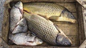 Świeżych ryba Cyprinus Obraz Stock