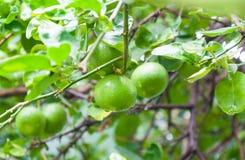 Świeżych wapno cytryny surowy zielony obwieszenie na wapna drzewie w ogródzie zdjęcie royalty free