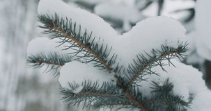 Świerczyn gałązki zakrywać śniegiem fotografia stock