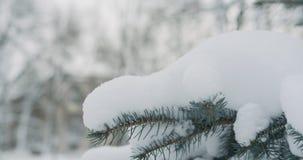 Świerczyn gałązki zakrywać śniegiem obrazy stock