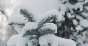 Świerczyn gałązki zakrywać śniegiem zdjęcie stock