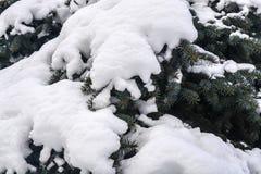 Świerczyna chroniony śnieg Obrazy Stock