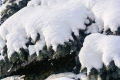 Świerczyna chroniony śnieg Obrazy Royalty Free