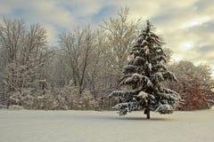 Świerczyna po świeżego śniegu Obrazy Royalty Free