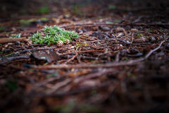 Świerczyna rożki na ziemi Zdjęcie Royalty Free