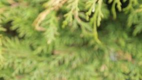 Świerczyna rozgałęzia się chlanie w wiatrze zbiory