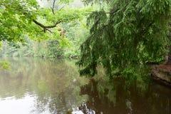 Świerczyna Rozgałęzia się nad jezioro Obraz Stock