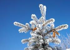 Świerczyna rozgałęzia się w śniegu Obrazy Stock