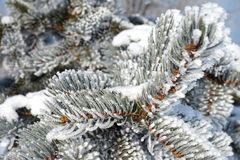 Świerczyna rozgałęzia się w śniegu zdjęcia stock