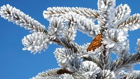 Świerczyna rozgałęzia się w śniegu obrazy royalty free