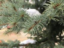 Świerczyna rozgałęzia się w śniegu obraz stock