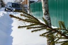 Świerczyna rozgałęzia się w śniegu w zimy mroźnej pogodzie zdjęcie stock
