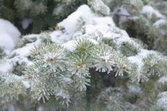 Świerczyna rozgałęzia się w śniegu, zimy pogoda Zdjęcia Royalty Free