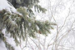 Świerczyna rozgałęzia się w śniegu, zimy pogoda Zdjęcie Stock