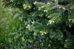 Świerczyna rozgałęzia się z młodymi krótkopędami zdjęcie stock