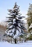 Świerczyna w śniegu w zimie Obraz Stock