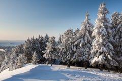 Świerczyna w śniegu w zimie Fotografia Stock