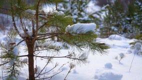 Świerczyna w lesie opuszcza śnieg zdjęcie wideo