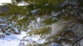 Świerczyna w lesie opuszcza śnieg zbiory