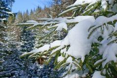 Świerczyny gałąź zakrywająca z białym śnieżnym zbliżeniem w iglastym lesie Obrazy Royalty Free