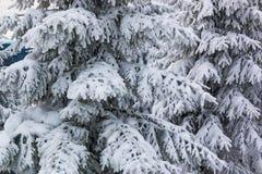Świerczyny w śniegu, halny Krkonose Obrazy Royalty Free