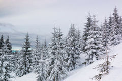 Świerczyny w śniegu, halny Krkonose Obraz Stock