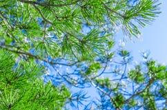 Świerczyny zieleń Obrazy Royalty Free
