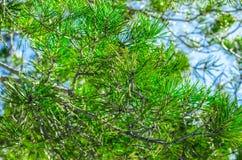 Świerczyny zieleń Zdjęcie Stock