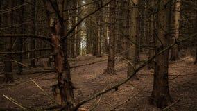 Świerkowa drzewna monokultura zdjęcia royalty free