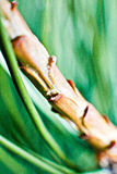 Świerkowa gałązka makro-, zielone igły obraz stock